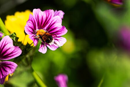 summer natural background with copy space. large bumblebee pollinates blooming purple flower close-up.