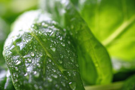 closeup green leaves spinach with drops, drops of rain and dew on plants Banque d'images - 149415323