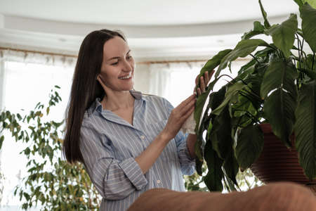 woman in blue shirt wipes leaves of plants with wet napkin, caring for indoor home plants, nature-inspired environments concept