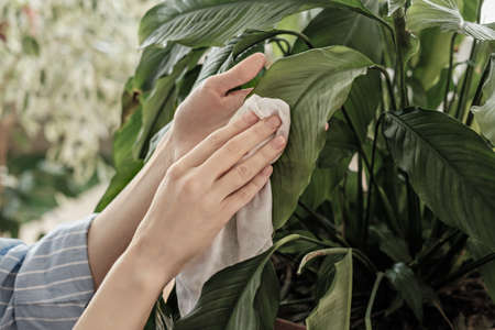 concept of plant care, women's hands rubbed large leaves from dust, lifestyle, connecting with nature Фото со стока
