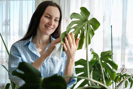 closeup woman in blue shirt wipes leaves of plants Monstera with wet napkin, caring for indoor home plants, nature-inspired environments concept Фото со стока