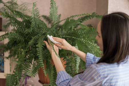 woman in blue shirt wipes fern leaves from dust with wet cloth, care of indoor plants concept Фото со стока