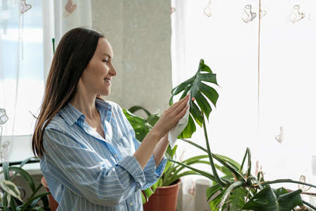 woman in blue shirt wipes leaves of plants Monstera with wet cloth, caring for indoor home plants, nature-inspired environments concept, plant care Фото со стока