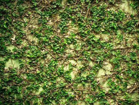 fresh creeping plant growing on wall 写真素材