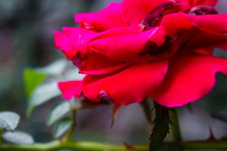 Red rose 写真素材