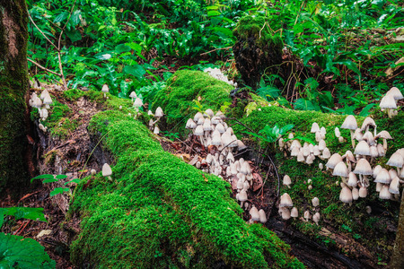butch: Big butch of mushrooms growing on the fallen tree covered with green moss.