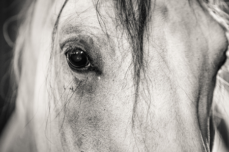 Black and white horse eye close up. Banque d'images