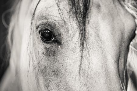 Ojo del caballo blanco y negro de cerca. Foto de archivo - 48077293