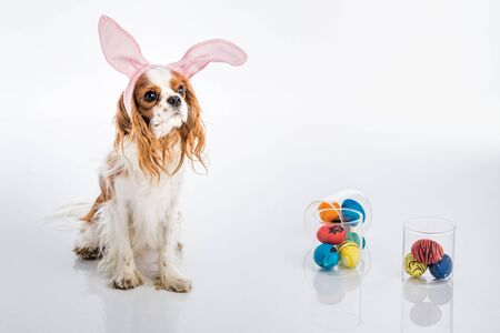 cocker: Cute puppy with bunny ears with colored Easter eggs