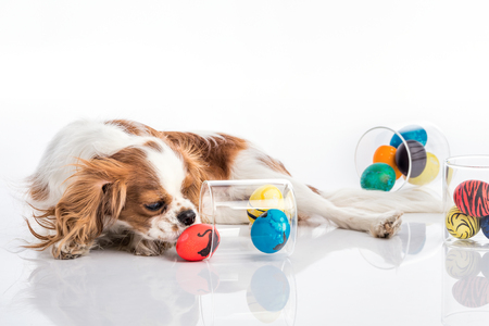 Cute puppy with reflection playing with colored Easter eggs Stock Photo