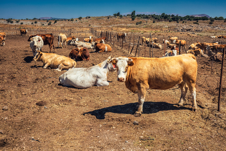 Cow herd at north of Israel, Ramat Hagolan. Stock Photo