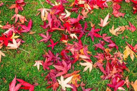 acer palmatum: Red yellow and green colorfull leaves of UK autumn. Stock Photo