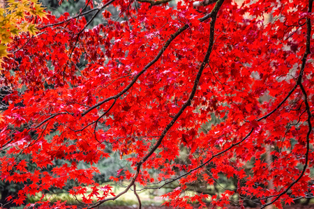 Red yellow and green colorful leaves of UK autumn. Stock Photo