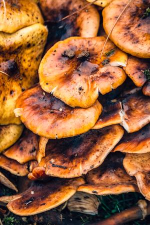 Huge mushrooms in the park,  UK autumn. Stock Photo