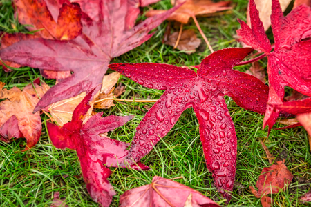 Red yellow and green colorfull leaves of UK autumn. Stock Photo