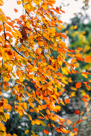 acer palmatum: Red yellow and green colorful leaves of UK autumn. Stock Photo