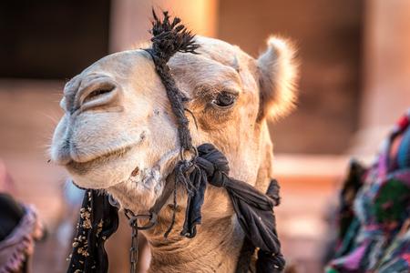 Close up shot of camel with big eyes at Petra, Jordan.