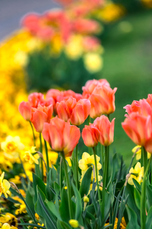 Beautiful tulips show with shallow depth of field at Riga park during sunset time. Stock Photo