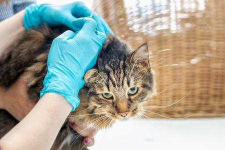 Dierenarts arts maakt een controle van een schattige mooie kat.
