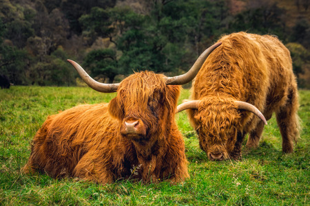 Scottish Highland Cow in field with big horns and long hair, Scotland.