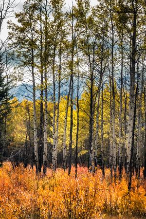 Yellow larches at Kananaskis National Park, Canada.