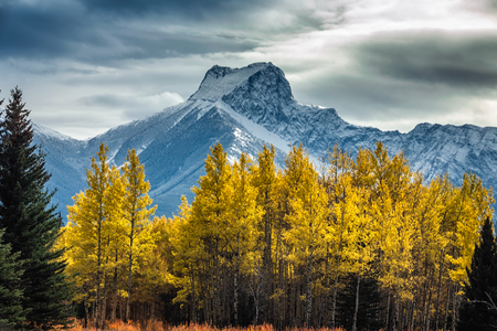 Yellow larches and snowy mountains at Kananaskis National Park, Canada. Фото со стока