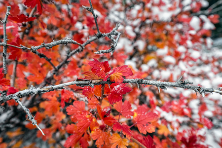 Red leaves under heavy snow near Banff National Park, Canada.