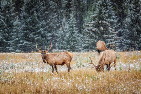 Elks with big horns under heavy snow near Banff National Park, Canada.