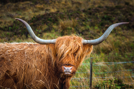 Black Scottish Highland Cow in field with big horns and long hair, Scotland. Zdjęcie Seryjne