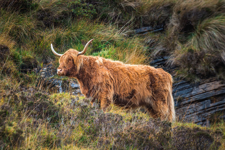 Black Scottish Highland Cow in field with big horns and long hair, Scotland.
