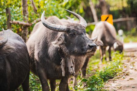 Bulls on the road in village in Thailand Reklamní fotografie