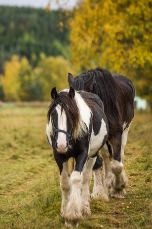 Beautiful brown horse in a field in Scotland in sunny weather.