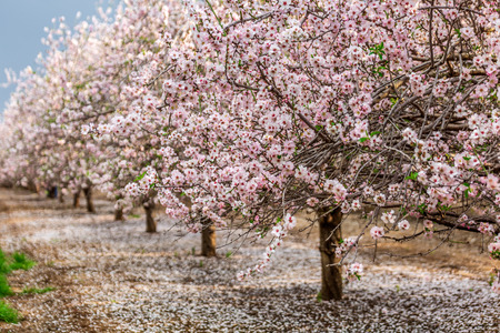 Scenic view of almond grove blooming with beautiful flowers in February near Monastery Of Silence