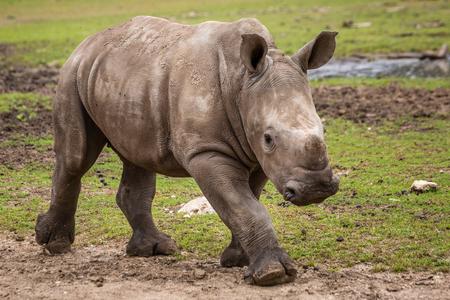A close up of a running female rhinoceros calf. Stock Photo