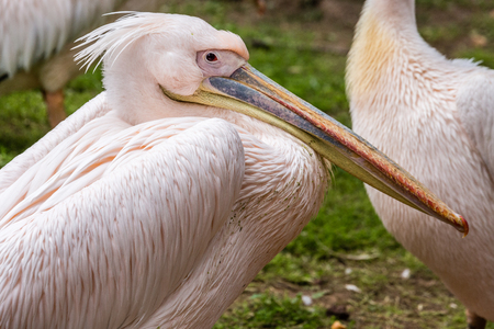 Great white pelican (also known as the eastern white pelican, rosy pelican or white pelican) (Pelecanus onocrotalus)