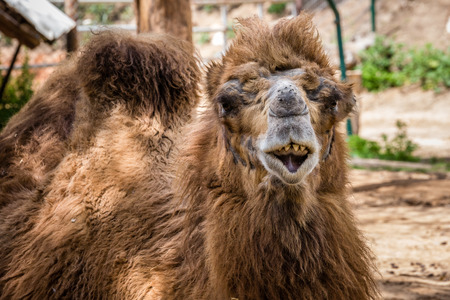 Bactrian camel (Camelus bactrianus) shows his teeth.