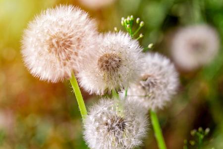 Dandelion in the sunlight on fresh green morning background. Imagens
