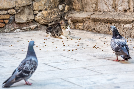 Cat and pigeons at old streets of Dubrovnik, Croatia.
