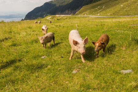 Pigs graze on a green meadow near the Transfagaras highway in the picturesque mountain areas on a sunny day in Romania