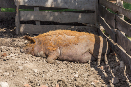 Animals in the agricultural area, they graze there, eat and rest on a sunny, warm day in a village in Hungary 写真素材