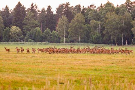 Wild european deers in the forest at Belovezhskaya Pushcha National Park, Belarus.