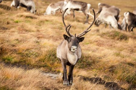 Reindeer walks through a large pasture in Scotland. Deer are looking for and eating the last green grass, which will soon become dry as it is now mid-autumn. Banco de Imagens