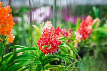 White and orange orchid growing in Thailand. Orchidaceae. Орхидея (цвет) Stock Photo
