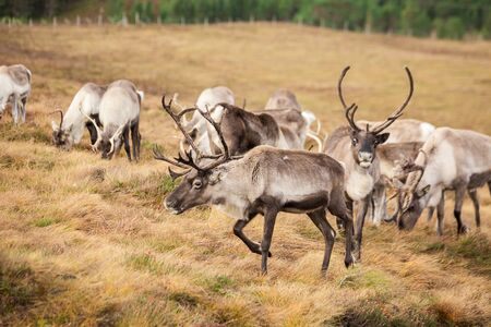 Reindeer walks through a large pasture in Scotland. Deer are looking for and eating the last green grass, which will soon become dry as it is now mid-autumn. Reklamní fotografie