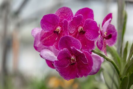 Orchid purple growing in Thailand. The Orchidaceae are a diverse and widespread family of flowering plants, with blooms that are often colourful and fragrant, known as the orchid family. Stock Photo