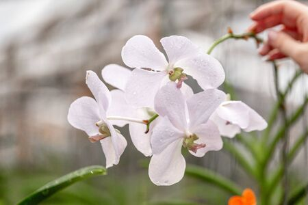 Orchid white  growing in Thailand. The Orchidaceae are a diverse and widespread family of flowering plants, with blooms that are often colourful and fragrant, known as the orchid family.