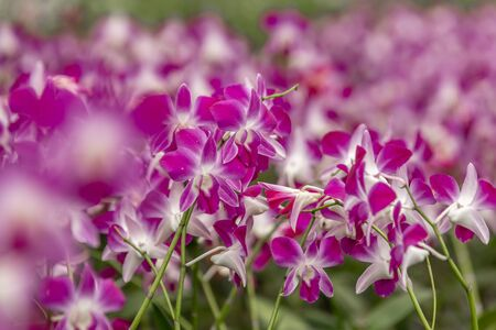 Orchid white and purple growing in Thailand. The Orchidaceae are a diverse and widespread family of flowering plants, with blooms that are often colourful and fragrant, known as the orchid family. Stock Photo