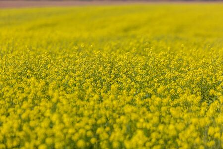 Colorful field of blooming raps with yellow flowers.