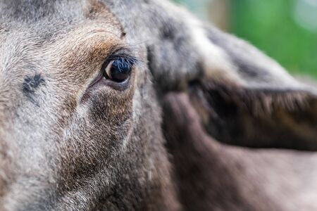 Eye of the Young Wild Moose Grazing near Kiruna, Sweden.