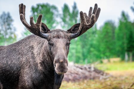 Adult male Wild Moose with huge antlers Grazing near Kiruna, Sweden.